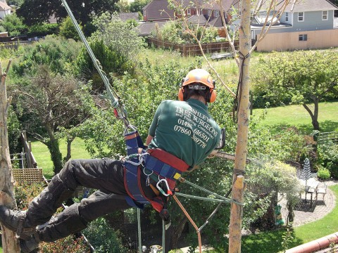 Willow tree removal in Lymington