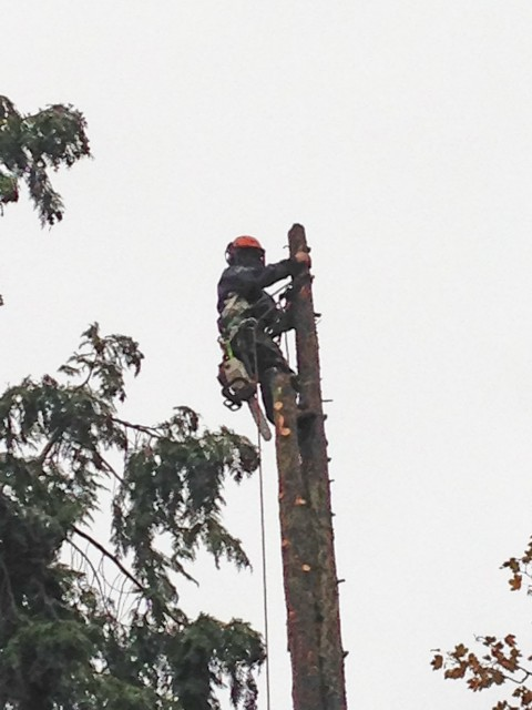 Removal of Cypress trees in Fleet for Churchill Retirement Living