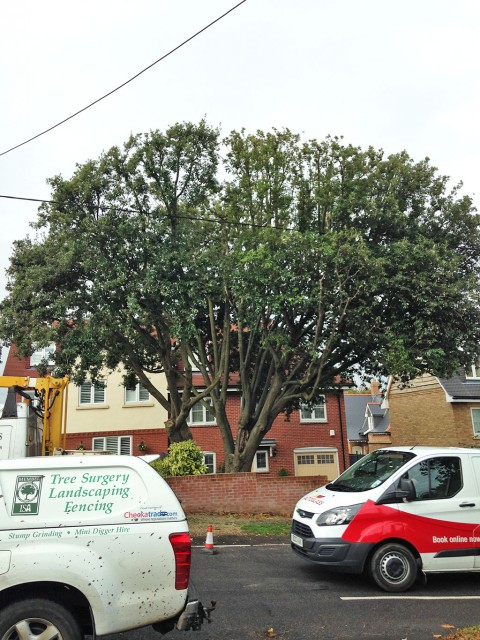 Holm Oak reduction in Barton on Sea