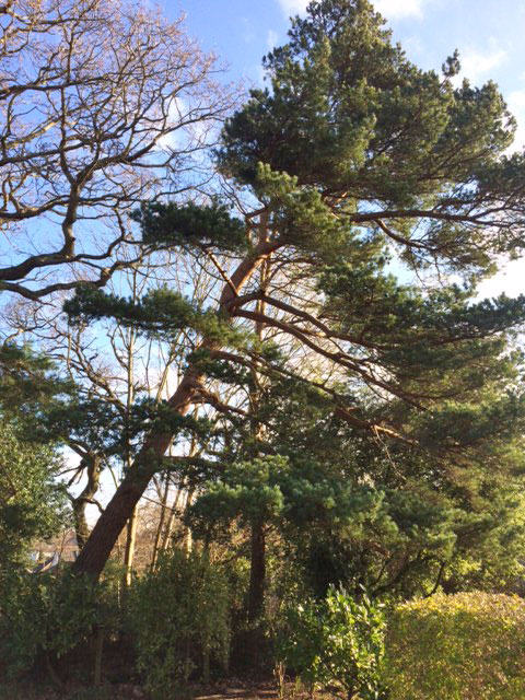 Dangerous Pine – Sectional fell 24 hours after tree was inspected by Barry and Council giving authorisation